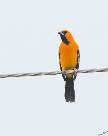 Altamira Oriole shot at Laguna Atascosa Wildlife Refuge Texas January 2017