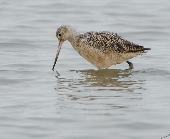 Marbled Godwit shot on Bolivar Peninsula Texas January 2017