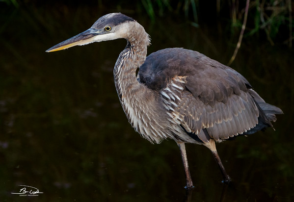 Great Blue Heron shot at Padre Island Birding and Nature Center, Texas, December 2016