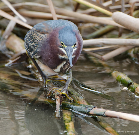 Green Heron encountered at South Padre Island Bird Viewing and Nature Center in December 2016
