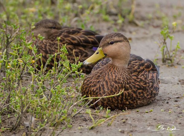 Mottled Duck found at South Padre Island Birding and Nature Center December 2016