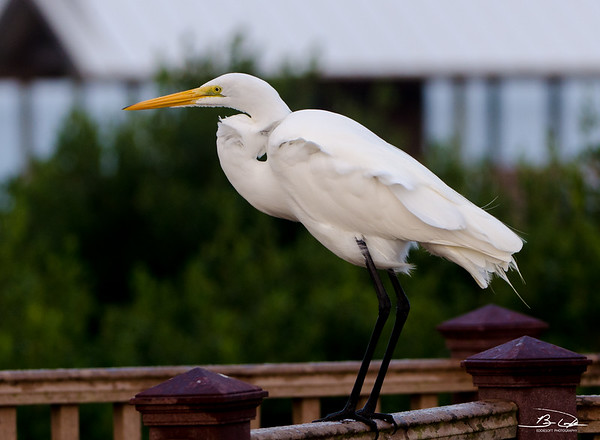 Great Egret found at South Padre Island Birding and Nature Center January 2017