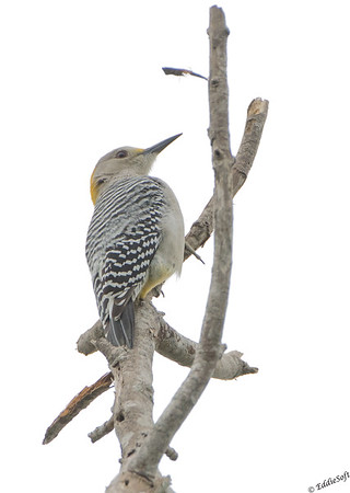 Golden-Fronted Woodpecker discovered at Laguna Atascosa National Wildlife Refuge in January 2017