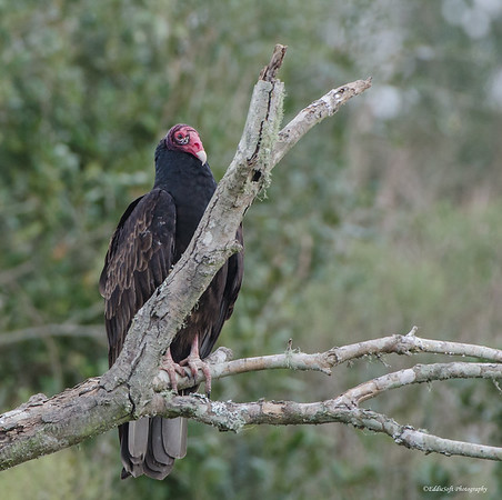 Turkey Vulture, Anahuac National Wildlife Refuge, Texas Gulf Coast, December 2016