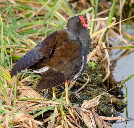 Common Gallinule found at South Padre Island Bird Viewing and Nature Center, December 2016