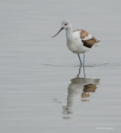 American Avocet found in Bolvar outside of Galveston Island Texas, January 2017