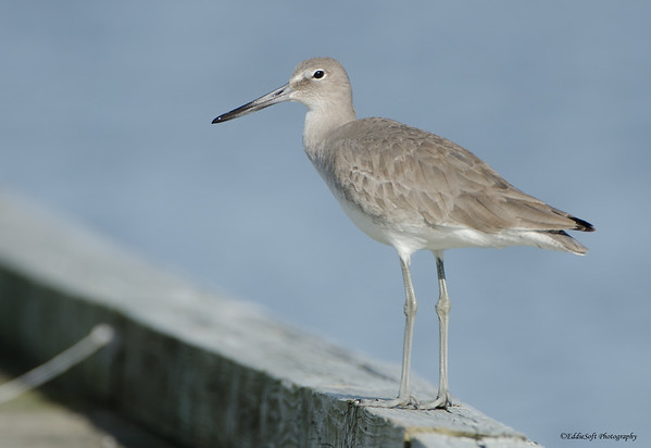 Willet found at Galveston State Park, TX in January 2017