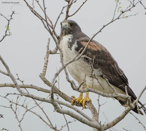 White-Tailed Hawk shot while leaving Laguna Atascosa National Wildlife Refuge, Texas January 2095