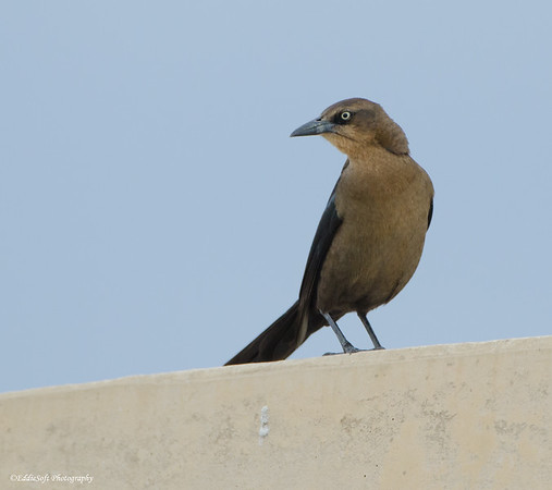 Great-Tailed Grackle found at Aransas National Wildlife Refuge, Texas, December 2016
