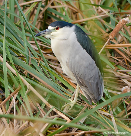 Black-Crowned Night-Heron found at South Padre Island Bird Viewing and Nature Center, Texas December 2016
