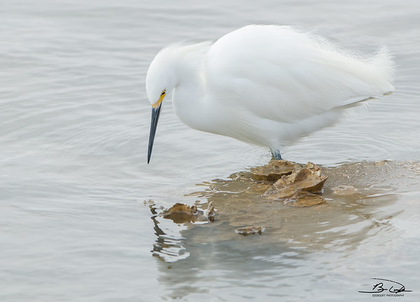 Snowy Egret found at Galveston Island, Texas, January 2017