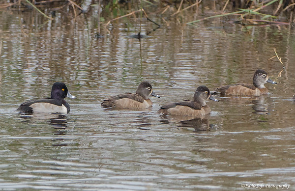 Ring-Necked Duck found an Anahuac National Wildlife Refuge, Texas Gulf Coast January 2017