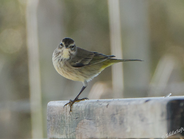 Non-breeding Palm Warbler found at Galveston Island, Texas January 2017