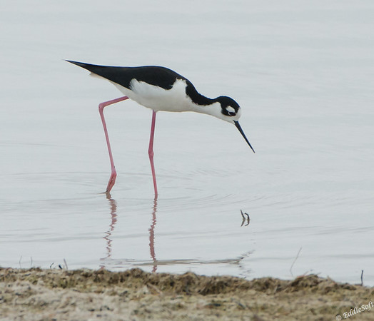 Black-Necked Stilt found at Laguna Atascosa National Wildlife Refuge January 2017