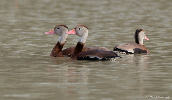 Whistling Duck found at William Goodrich Jones State Forest, Conroe in Texas December 2016