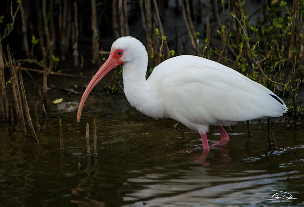 White Ibis found at South Padre Island Bird Viewing and Nature Center December 2016