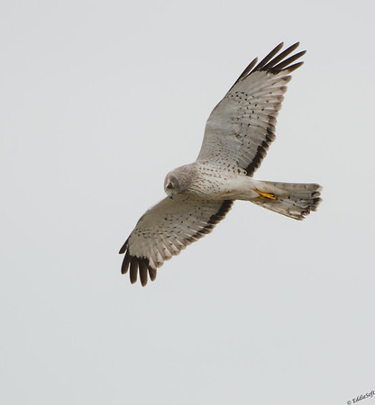 Northern Harrier hunting the marshes of Anahuac National Wildlife Refuge, Texas January 2017