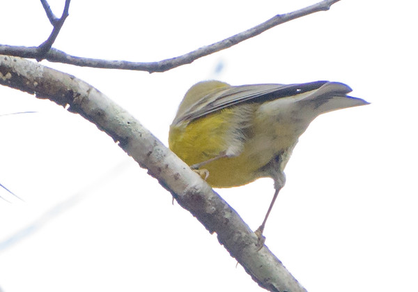 Pine Warbler shot in Texas December 2016