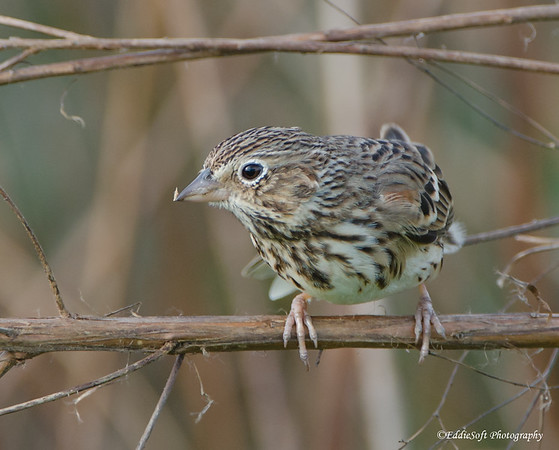 Vesper Sparrow discovered at William Goodrich Jones State Forest in December 2016