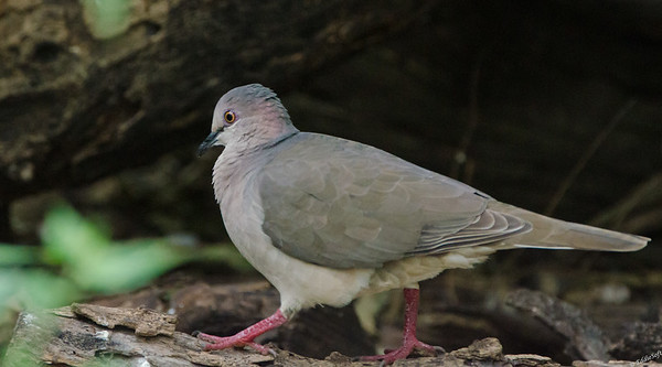 White-Tipped Dove found at Laguna Atascosa National Wildlife Refuge, Texas in January 2017