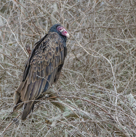 Turkey Vulture, Texas Gulf Coast, December 2016