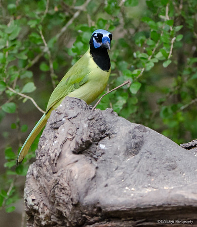 Green Jay discovered at Laguna Atascosa National Wildlife Refuge, TX in January 2017