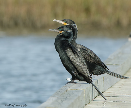 Neotropic Cormorant shot at Galveston National Park and Seawolf Park in Galveston Texas January 2017