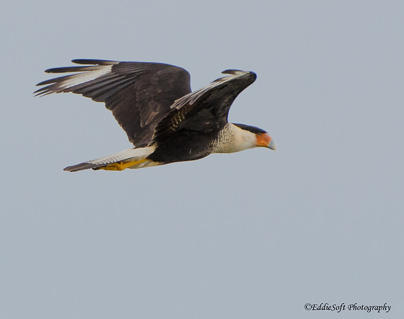 Crested Caracara shot in Rockport, Texas December 2016