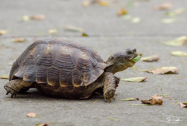 Texas Tortoise found at Laguna Atascosa National Wildlife Refuge in January 2017