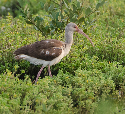 Juvi White Ibis found at Padre Island Bird Viewing and Nature Center in January 2017