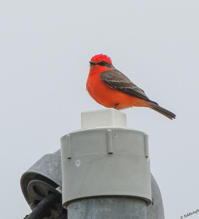 Vermilion Flycatcher shot at Anahuac National Wildlife Refuge, Texas in January 2017