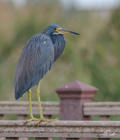 Ticolored Heron found at South Padre Island Bird Viewing and Nature Center January 2017