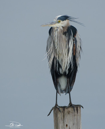 Great Blue Heron found at Bolivar