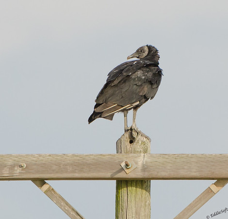 ?Black Vulture found outside Rockport, Texas in December 2016