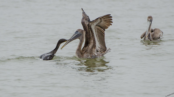 Double-Crested Cormorant and Brown Pelican tangle at Seawolf Park in Galveston Texas January 2017