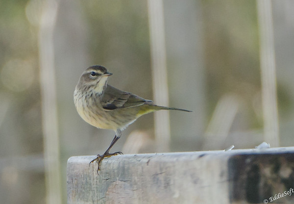 Non-breeding Palm Warbler found at Galveston Island, Texas January 2017