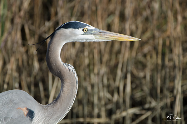 Great Blue Heron found at Galveston