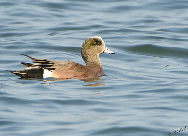 American Wigeon December 2016