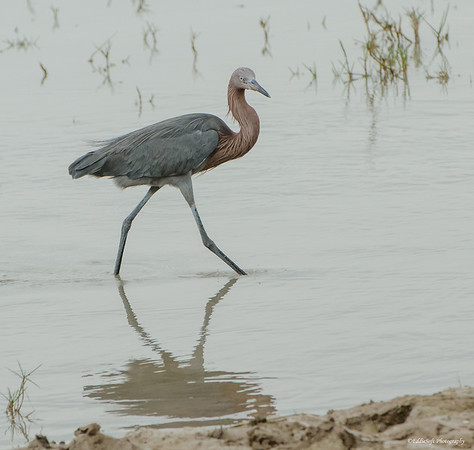 Reddish Egret discovered at Laguna Atascosa National Wildlife Refuge January 2017