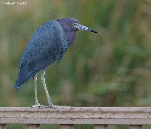 Little Blue Heron found at South Padre Island, Texas in January 2017