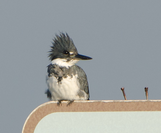 Belted Kingfisher found at South Padre Bird Viewing and Nature Center in December 2016