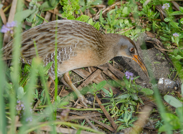 Clapper Rail found at South Padre Island Bird Viewing and Nature Center in January 2017