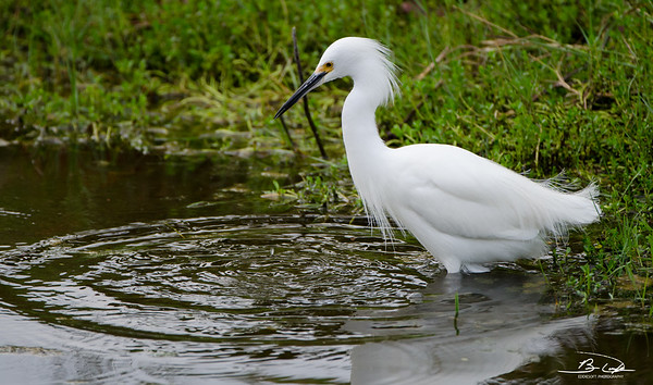 Snowy Egret found at South Padre Island Bird Viewing and Nature Center December 2016