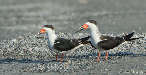 Black Skimmer encountered on Galveston Island, Texas January 2017