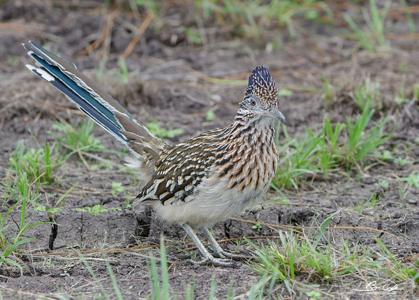 Greater Roadrunner found outside Laguna Atascos National Wildlife Refuge in January 2017