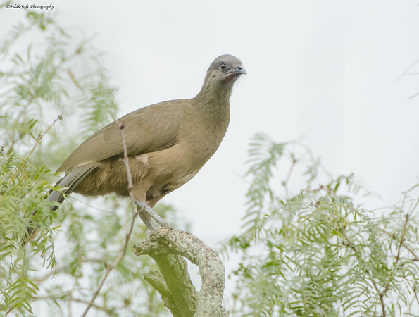 Plain Chachalaca shot at Laguna Atascosa National Wildlife Refuge Freson Texas in January 2017