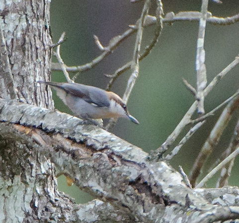 Brown-Headed Nuthatch found at William Goodrich Jones State Forest in Conroe, Texas