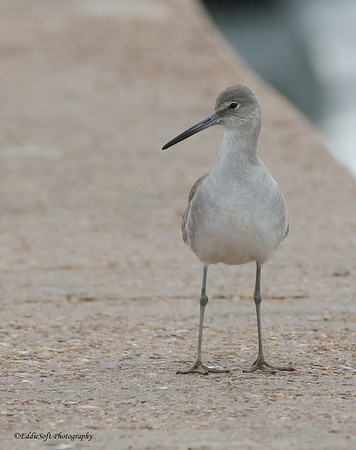 Willet found at Bolivar Flats, TX in January 2017