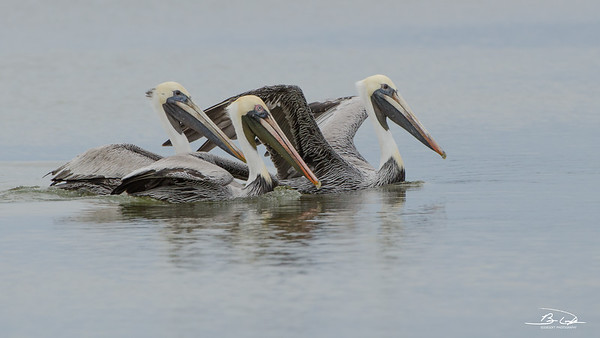 Brown Pelican found at Galveston Island State Park, Texas, December 2016