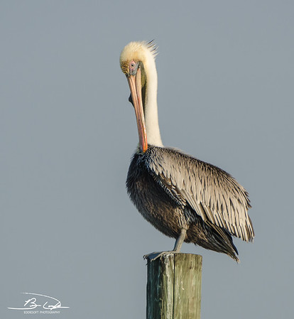 Brown Pelican found at South Padre Island Birding and Nature Center, Texas, December 2016